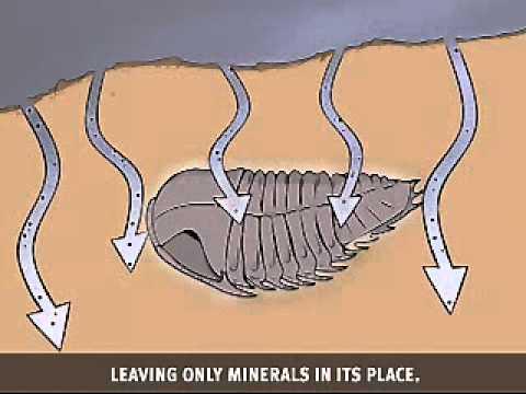 Fossilization