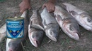 Толстолобы выскакивают на берег и клюют на сгущенку My fishing
