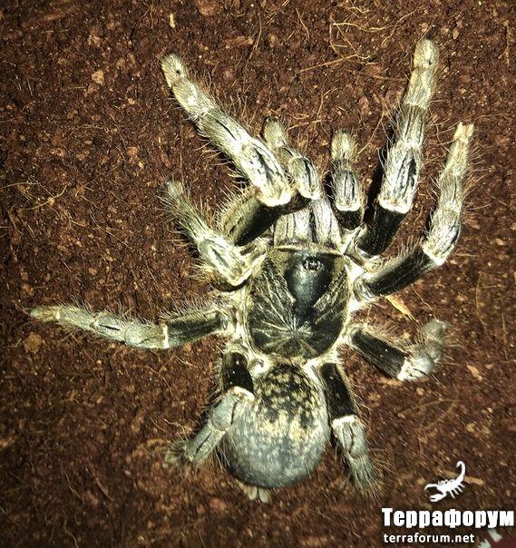 Pterinochilus-chordatus