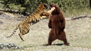 МЕДВЕДЬ В ДЕЛЕ! Медведь против льва, тигра, пумы