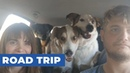 Large Group of Dogs Bark with Excitement in Backseat of Car