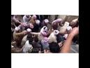 Корбан Сярбери сяр айда Джамаийа Шихади Напомним эти 7 дней для езидов всего мира являются днями поломничества в Лалеш данный праздник поломничества называется Джамаийа Шихади