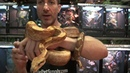 Central American T Sunglow Boas For Sale. Buy at Big Apple Pet with Same Day Shipping.