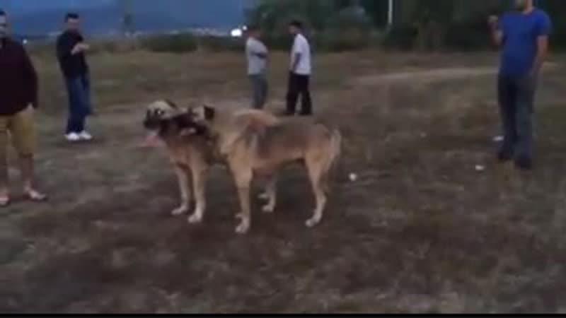 Kangal DUMAN son of Cemal Dener Legend Toros vs Volkodav BARON