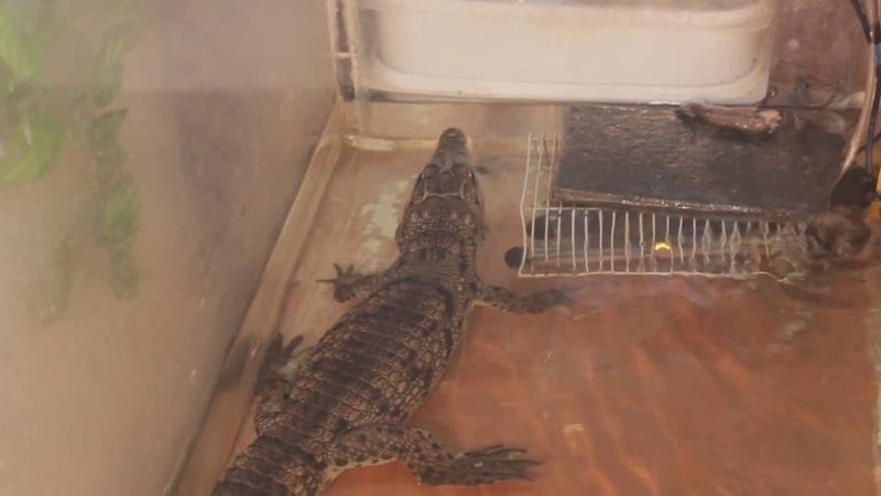 Нильский крокодил разрывает добычу