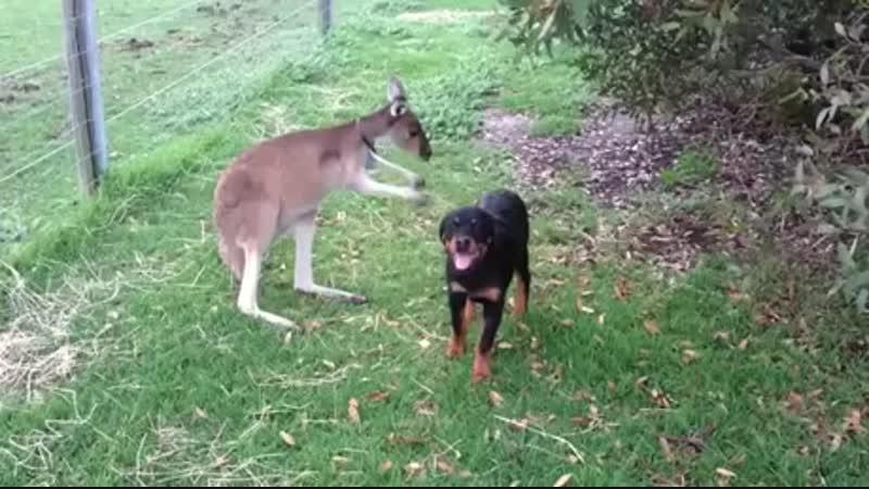 Кенгуру лапает собакена