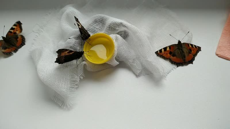 Кормление бабочек через неделю [2]