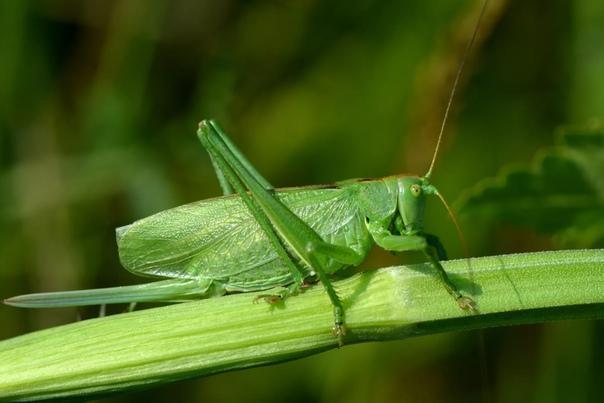 Разница между кузнечиком и саранчой Вспомнив любимую детскую песенку про кузнечика, ни у кого не возникнет проблем с описанием этого насекомого: овальная форма, зеленый цвет и весьма прыгучие