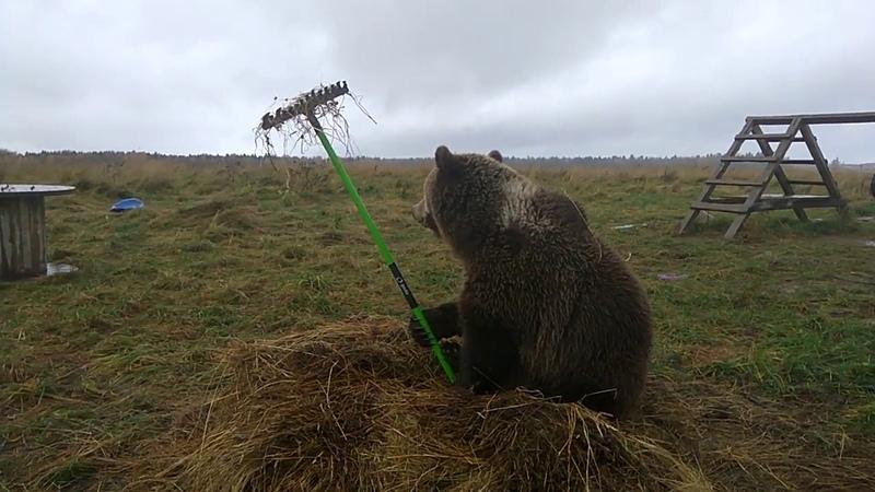На грабли медведи не наступают используют иначе