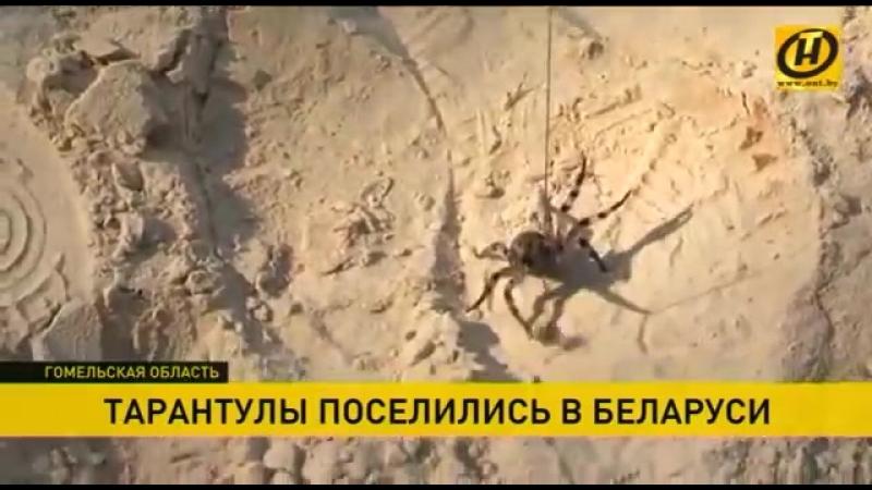 Деревню в Гомельской области атаковали пауки