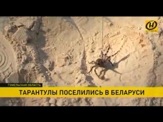Тарантулы поселились в Беларуси. Один из таких незваных гостей и вовсе пробрался в дом!