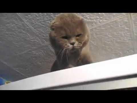 Кот психует ругается