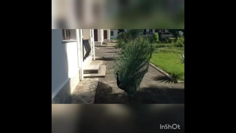 Гостеприимный павлин