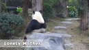 Panda Mom Looks A Bit Lonely Waiting For Her Kids To Come Down | iPanda