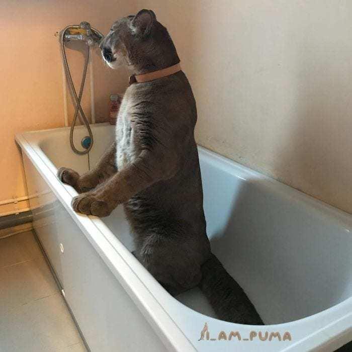 Пара забрала пуму из саранского контактного зоопарка и превратила её в разбалованного домашнего кота