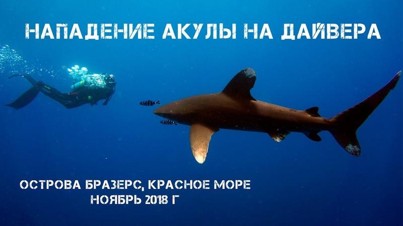 Нападение акулы на дайвера. Oceanic white tip shark attack. Brothers Islands, Red Sea