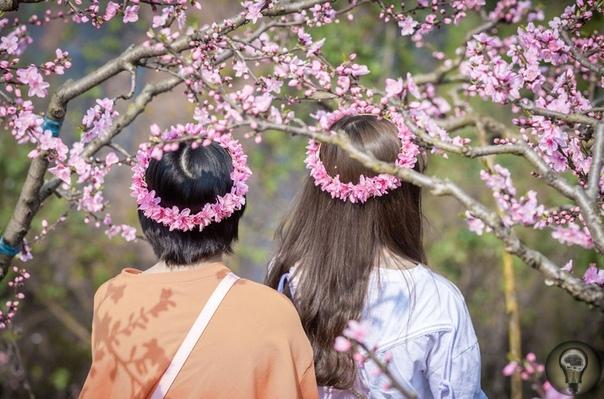 Весна на планете. Ч.-2 1. Цветущие деревья магнолии в центре Страсбурга, Франция 2. Две девушки в венках посреди персиковых деревьев в горах Лунцюань в провинции Сычуань, Китай. 3. Фото в