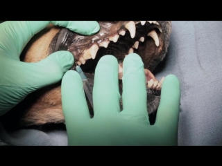 Veterinary Dentistry -  Nerve Blocks for Oral Surgery for Dogs and Cats