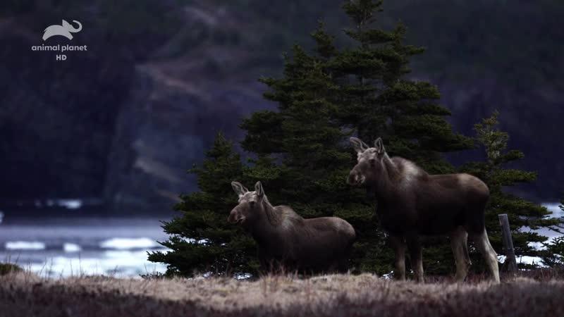 Animal Planet Живой или вымерший Белый ньюфаундлендский волк Extinct or Alive 2018