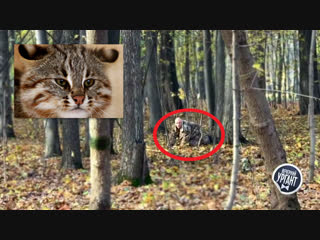 В Москве засняли редкого лесного кота!