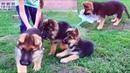 Маленькие РАЗРУШИТЕЛИ. Щенки Немецкой овчарки 2 мес. German Shepherd Puppies 2 months.