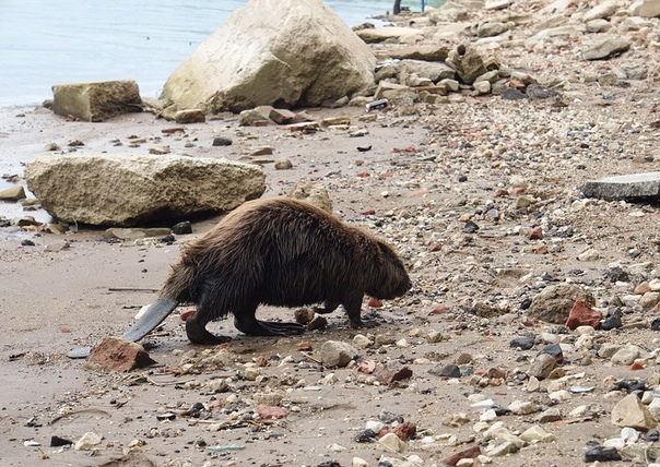 Весь в грязи и мазуте: на берегу Волги нашли измученного бобра