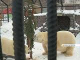 В Красноярске для белых медведей нарядили съедобную ёлку