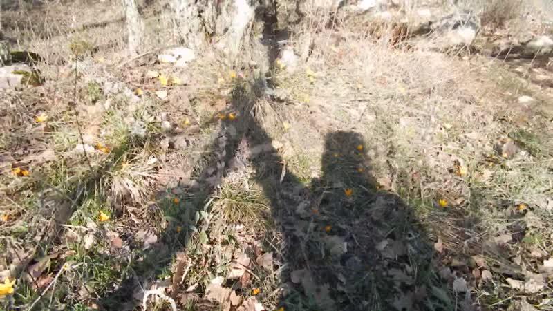 16 февраля, Аю-Даг, крокусы