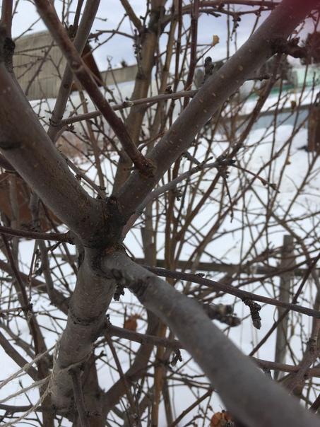 Здравствуйте! Помогите, пожалуйста, спасти яблоню! Дереву 6-8 лет (сад купили недавно), два лета подряд урожая особо не было.