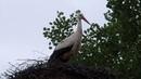 Белый аист White stork