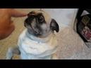 Pug dog doing tricks Part 2