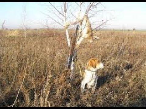 Охота на зайца с русской гончей Все тонкости