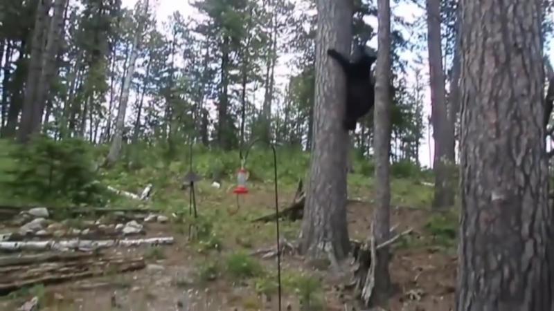 Русская кошка гоняет медведя охотится