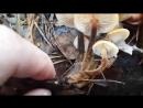 Грибы в декабре. Зимний опёнок Flammulina velutipes-zima-grib-gr-v-dekabre-sport-temp-scscscrp
