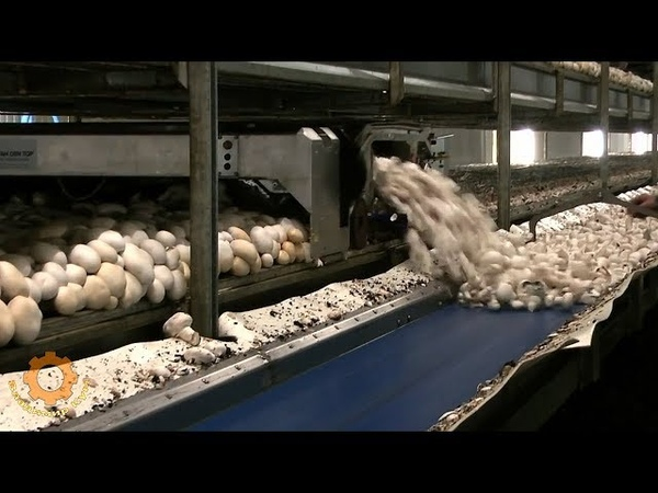 Как выращивают шампиньоны в Голландии