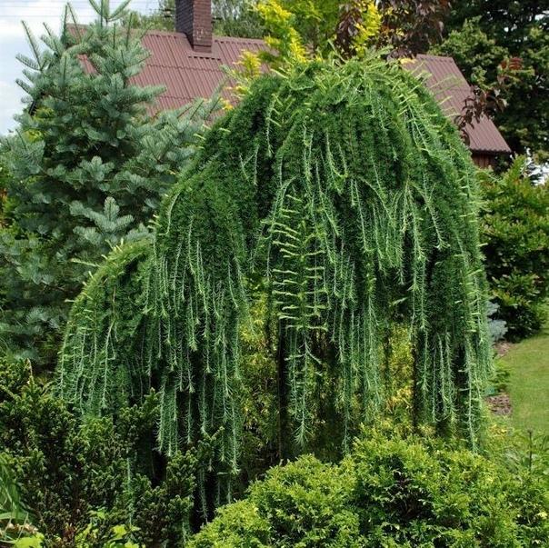 лиственница лиственница (larix) род хвойных деревьев, характерной особенностью которых является опадающая на зиму хвоя. лиственница хорошо переносит не только сильные морозы, но и жару, и