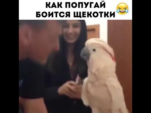 Как попугай боится щекотки