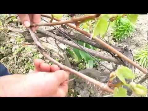 Cięcie winorośli - ależ to bardzo proste - zobacz sam