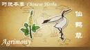 巧说本草 仙鹤草 Chinese Herbs Agrimony