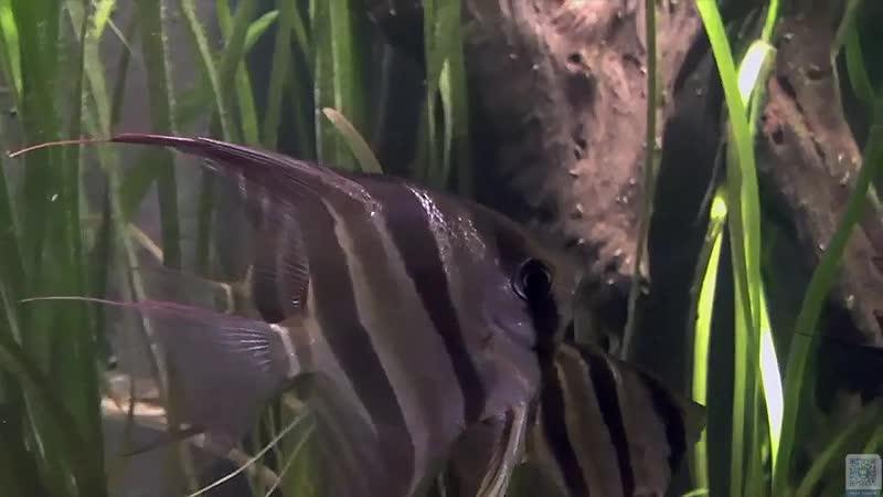 Altum Angelfish Aquarium Pterophyllum altum Алтумский ангел рыбы Аквариум Pterophyllum altum