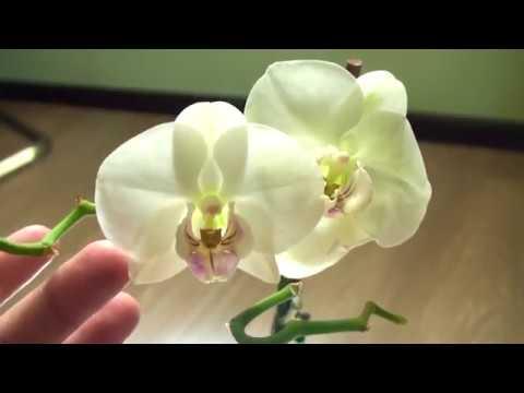 ЭТО 100 % УКОРЕНЕНИЕ И ПРИЖИВАЕМОСТЬ УЦЕНЕННЫХ орхидей и ЦВЕТУЩИХ ОРХИДЕЙ ПЕРЕСАЖЕННЫХ В ЭТИ ДНИ