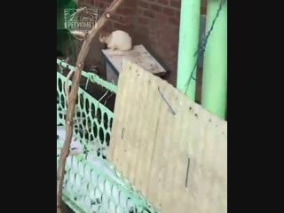 В станице Орловская кошку держат на цепи