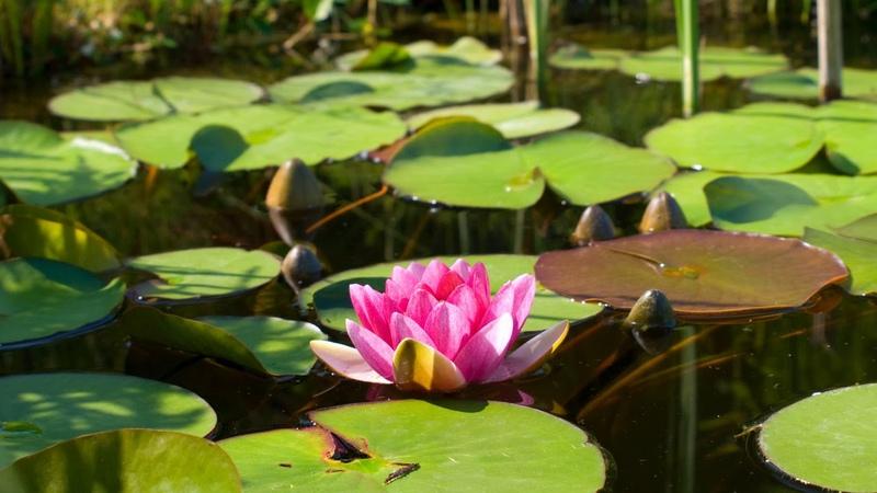Картинка цветы Розовый цветок лотос кувшинка водяная лилия
