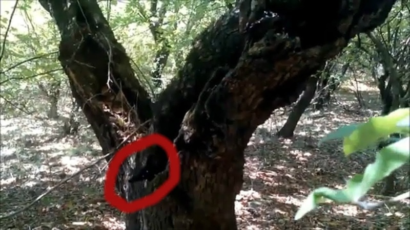 СТРАННОЕ СУЩЕСТВО СПРЯТАЛОСЬ В ДУПЛЕ ДЕРЕВА В ЛЕСУ АЗЕРБАЙДЖАНЕ. неизвестное существо в лесу