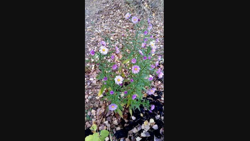 Не отвели ещё хризантемы в лесу. 😁
