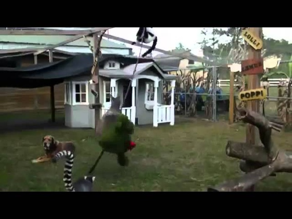 Кенгуру боксирует Лемуры в панике Смешной бой