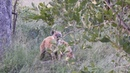 Гиена атакована леопардом