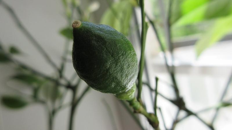 Лимон МЕЙЕР выращиваем цитрус на окне, в домашних условиях \ Lemon Meyer Home Care and Maintenance