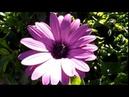 Голубоглазая ромашка Osteospermum Ecklonis остеоспермум зимой 10 01 2019