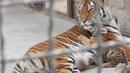 Тигрица играет с малышом